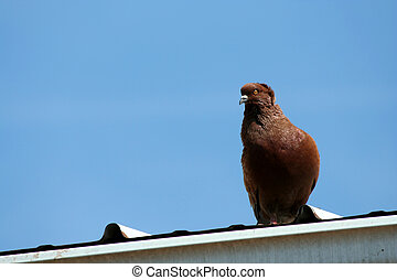 Brown dove with blue sky