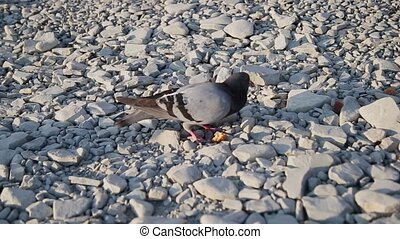 Brown doves walking on pebbles and search food among small stones. Hungry birds on the beach. Sunny summer day.