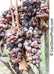 brown dried bunch of grapes in winter vine yard