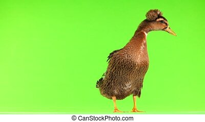 brown duck  on a green screen