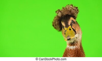 brown duck quack on a green screen