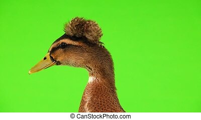 brown duck quack on a green screen