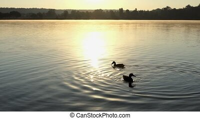 Brown ducks swimming on a lake at sunset in 4k - A wonderful...
