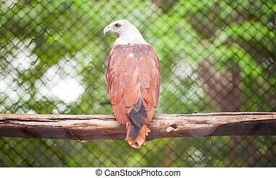 Brown eagle