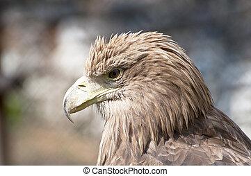 Brown eagle profile