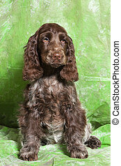 brown English Cocker Spaniel puppy