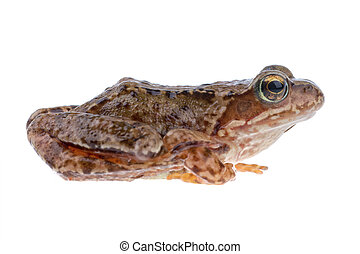 Brown European frog on a white background