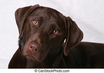 Brown Eyed Girl1 - Chocolate Lab Dog