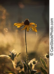 Brown-Eyed Susan Flower in Garden