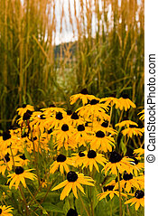 Brown Eyed Susans by Sea Oats - A garden of brown eyed...