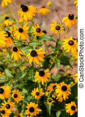 Brown Eyed Susans in Summer Garden