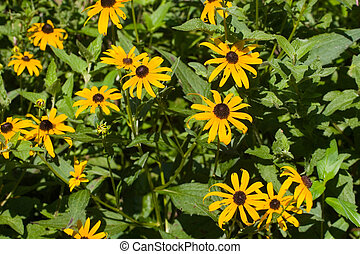 Brown Eyed Susans on Green