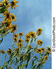 Brown-Eyed Susans - Rudbeckia hirta (family asteraceae)...