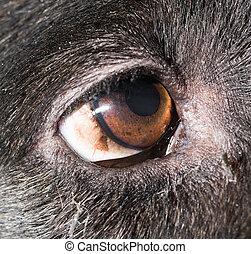 Brown eyes in black dogs. macro