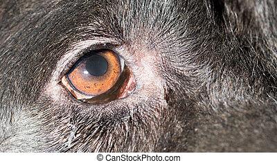 Brown eyes in black dogs. macro .