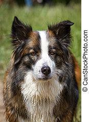 Brown Eyes - Big Three Colored Long hair mixed breed looking...