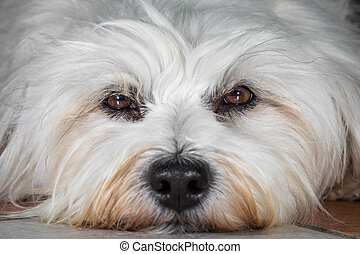 Brown Eyes - Small white Havanese in close-up.