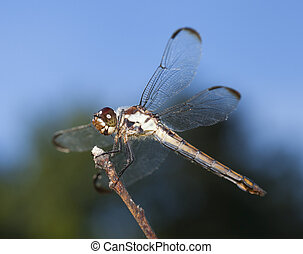 Brown eyes - Dragonfly with brown eyes waiting on a stick