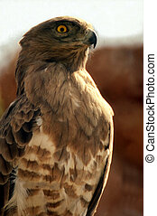 Falcon - Brown Falcon (Falco berigora) portrait.