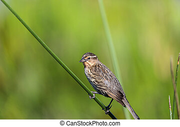 Brown Female red-wing blackbird Agelaius phoeniceus perches ...