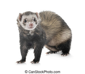 brown ferret in studi