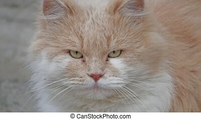 brown fluffy cat portrait of unhappy evil is cold outside -...