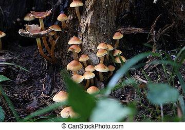 Brown forest mushrooms grew on a fallen tree.