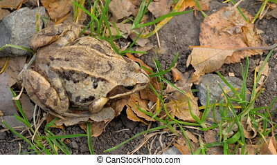 Brown frog in grass - Common frog (Rana temporaria) in grass