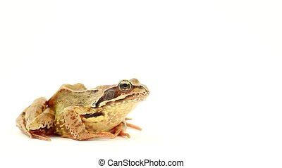 brown frog on white