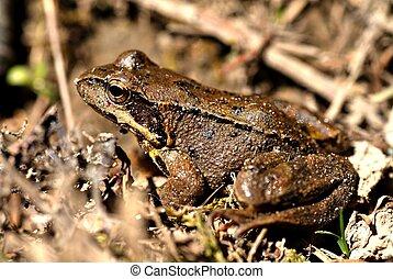 Brown frog, rana temporaria - Brown frog close up