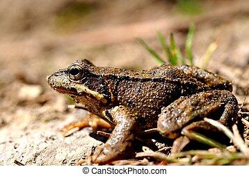 Brown frog, rana temporaria - Brown frog, close up, profile