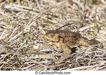 Brown frog sit on dry hay