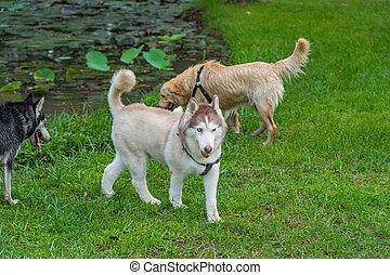 Beautiful brown fur Siberian husky playing at the dog park