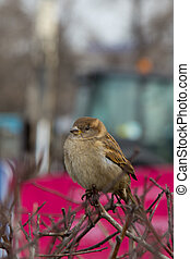 brown furry little sparrow sitting on a branch
