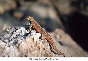 Brown Galapagos lizard