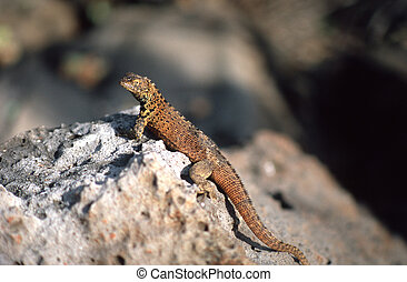 Brown Galapagos lizard