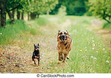 Brown German Shepherd And Miniature Pinscher Zwergpinscher Running On Green Grass In Spring Garden