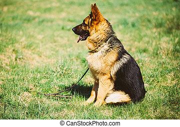 Brown German Shepherd Dog Sitting In Green Grass