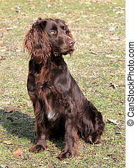 Brown German Spaniel dog