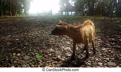 Brown goat eating grass in field,sun light at sunset footage,video
