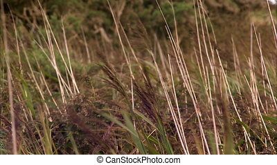 Brown grain fields - A steady close up shot of brown grain...
