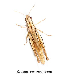 brown grasshopper isolated on white