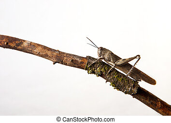 Brown grasshopper in tree branch, isolated over white...
