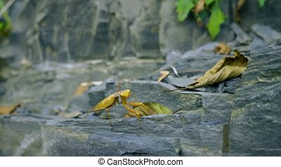 brown-green mantis on a rock. close-up. disguise as wilted ...