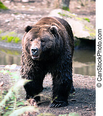 Brown Grizzly Bear Stands Observing North American Animal -...