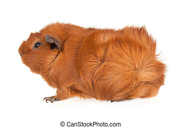 Brown guinea pig isolated on white