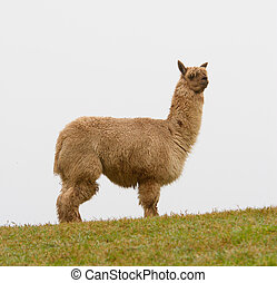 Brown hairy Alpaca in profile - An Alpaca in profile. An...