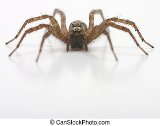 Brown hairy spider - Head on with a house spider
