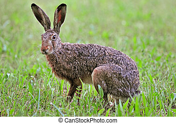 Close-up photo of brown hare