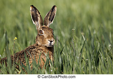 Brown hare, Lepus europaeus, head shot of single mammal in grass, Midlands, April, 2011
